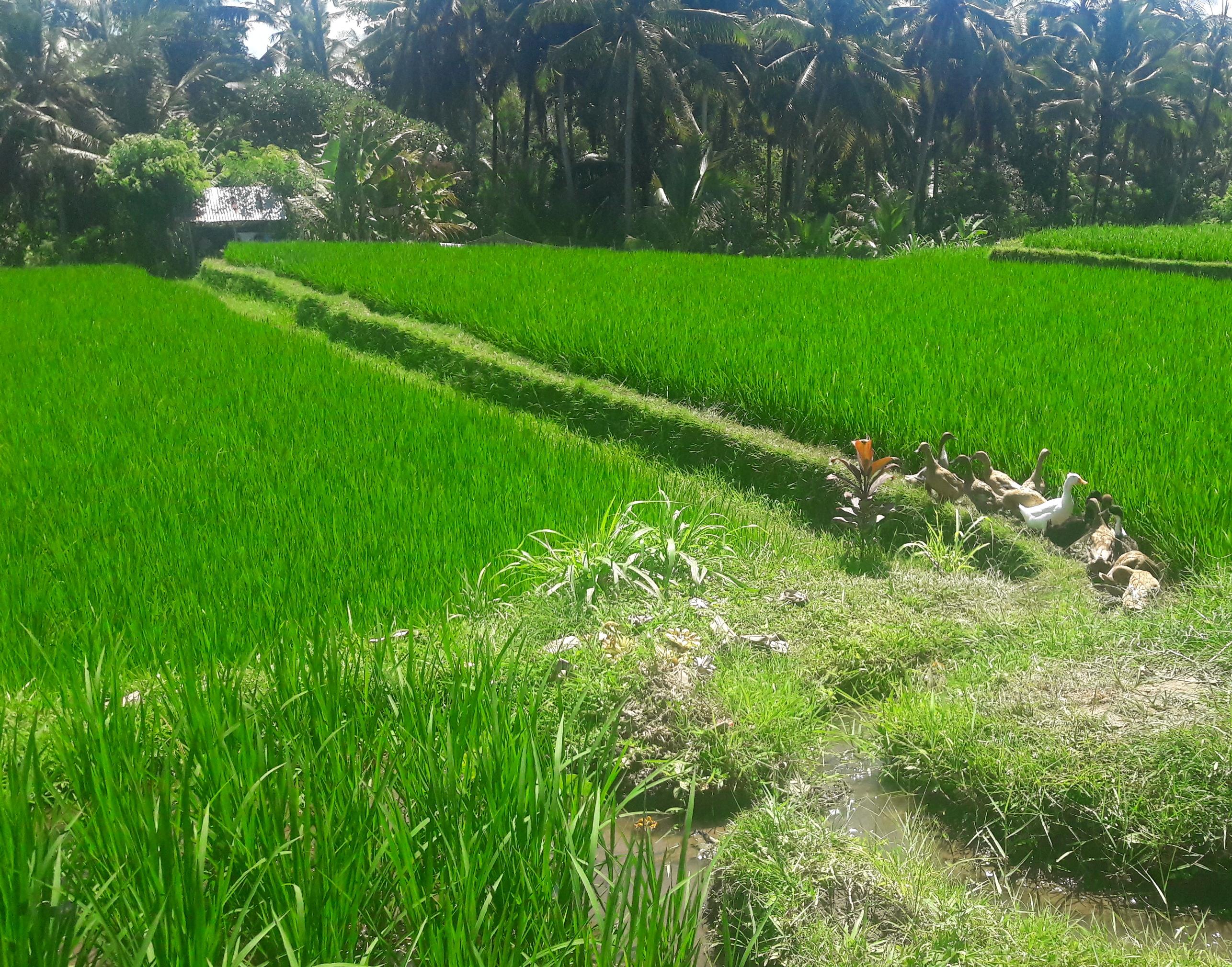 bali indonezia drumetie jalan kajeng walk natur